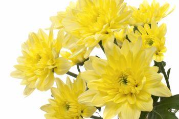 Baltica Yellow